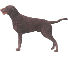 The Curly-Coated Retriever is one of the oldest of the retrieving breeds.
